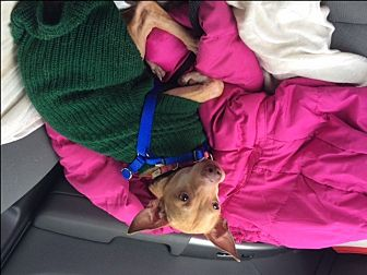 Chihuahua/Miniature Pinscher Mix Dog for adoption in Stafford, Virginia - Willie