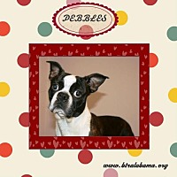 Boston Terrier Dog for adoption in Alabaster, Alabama - Pebbles