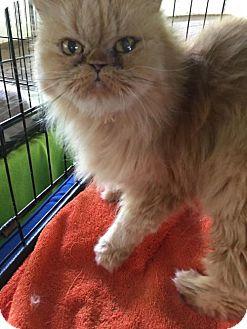 Persian Cat for adoption in Powder Springs, Georgia - ROXIE