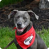 Adopt A Pet :: Sheba - Tipp City, OH
