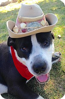 American Staffordshire Terrier/Labrador Retriever Mix Dog for adoption in Los Angeles, California - Cowboy - I have a flaw!