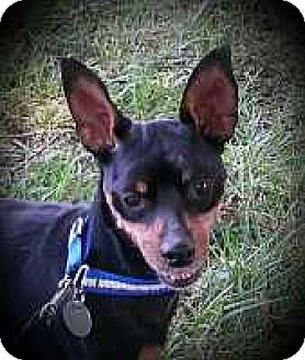 Miniature Pinscher Mix Dog for adoption in Columbus, Ohio - Winston