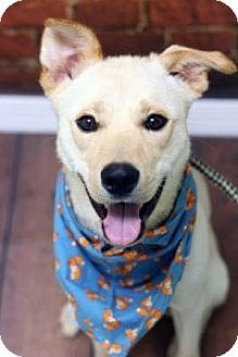 German Shepherd Dog/Labrador Retriever Mix Puppy for adoption in Chalfont, Pennsylvania - Tommy