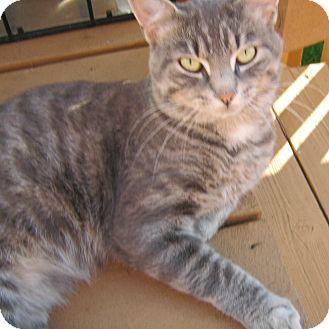 Domestic Shorthair Cat for adoption in Toronto, Ontario - Chico