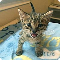 Domestic Shorthair Kitten for adoption in Austin, Texas - Wickham