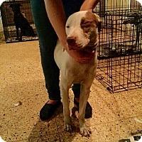 Adopt A Pet :: Diamond - Kill Devil Hills, NC