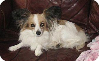 Papillon Dog for adoption in Marietta, Georgia - Shiloh (in VA)