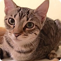 Adopt A Pet :: Farrah - Brown Tabby w/Orange - Metairie, LA