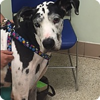 Great Dane Dog for adoption in Fort Lauderdale, Florida - GUS