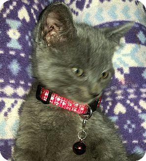 Russian Blue Kitten for adoption in Winterville, North Carolina - GRAYSON