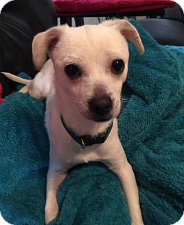 Chihuahua Mix Puppy for adoption in Redmond, Washington - Sammy