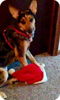 Australian Shepherd/Australian Cattle Dog Mix Dog for adoption in Mattoon, Illinois - Zara