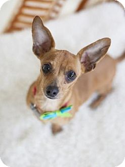 Dachshund/Chihuahua Mix Dog for adoption in Chicago, Illinois - Fuji 2