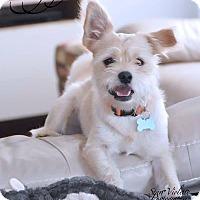 Adopt A Pet :: ZIGGY - Fort Worth, TX