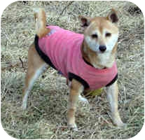 Shiba Inu Dog for adoption in Round Lake, Illinois - Hanna- MO