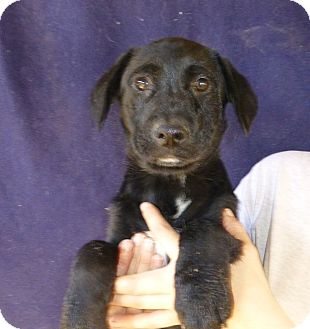 Golden Retriever/Labrador Retriever Mix Puppy for adoption in Oviedo, Florida - Jackie
