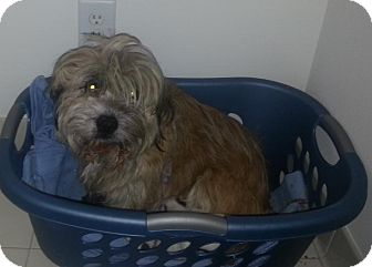 Tibetan Terrier/Lhasa Apso Mix Dog for adoption in bridgeport, Connecticut - Sassy