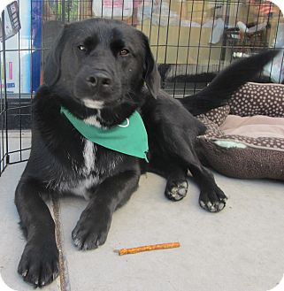 Labrador Retriever/Australian Shepherd Mix Dog for adoption in Lincolnton, North Carolina - Cosmo