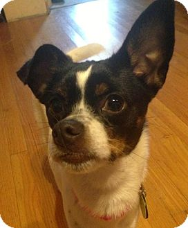 Chihuahua/Terrier (Unknown Type, Small) Mix Dog for adoption in North Olmsted, Ohio - Penny