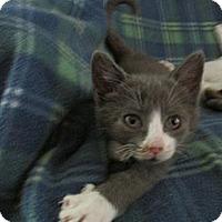 Adopt A Pet :: Munchkin - Acme, PA