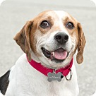 Adopt A Pet :: Bronson
