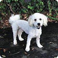 Adopt A Pet :: Woz - Walnut Creek, CA