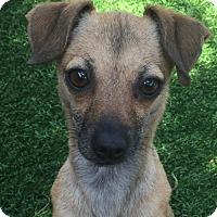 Adopt A Pet :: Rose - Costa Mesa, CA