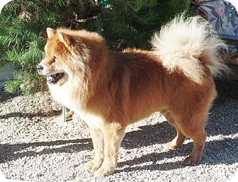 Chow Chow Dog for adoption in Eastsound, Washington - TOMMY