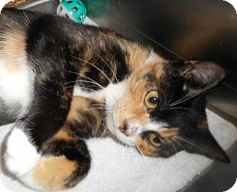 Domestic Shorthair Cat for adoption in Hilton Head, South Carolina - Raspberry