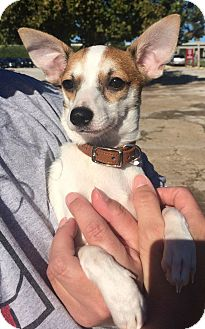 Toy Fox Terrier/Chihuahua Mix Puppy for adoption in Overland Park, Kansas - Larry