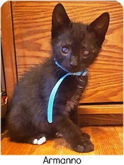 Domestic Shorthair Kitten for adoption in Huntington, New York - Armanno 2016127
