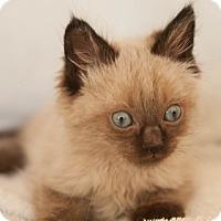 Siamese Kitten for adoption in Fremont, California - Iambe 08-4051