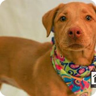 Labrador Retriever Mix Puppy for adoption in El Paso, Texas - Maybelle