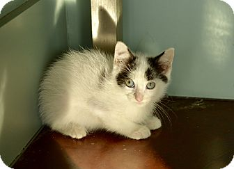 Domestic Mediumhair Kitten for adoption in San Antonio, Texas - Liam