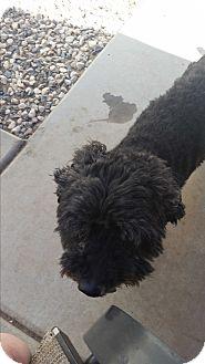 Poodle (Miniature) Dog for adoption in temecula, California - Shrek