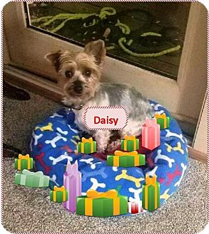 Yorkie, Yorkshire Terrier Mix Dog for adoption in Rootstown, Ohio - Daisy