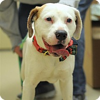 Adopt A Pet :: Cora - Fairfax Station, VA