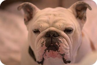 English Bulldog Dog for adoption in Chicago, Illinois - Comet