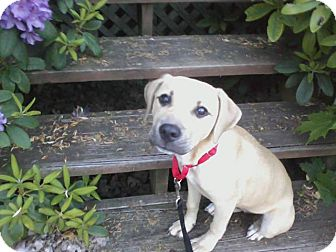 Labrador Retriever/Shepherd (Unknown Type) Mix Puppy for adoption in Youngstown, Ohio - Maxine