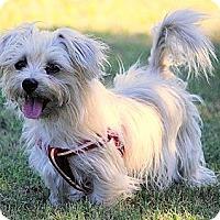 Adopt A Pet :: *Buffy - PENDING - Westport, CT