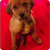 Adopt A Pet :: Teddy Bear - Alexandria, VA