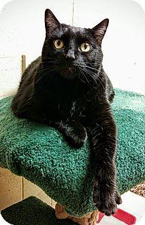 Domestic Shorthair Cat for adoption in Saanichton, British Columbia - Asia