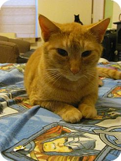 Domestic Shorthair Cat for adoption in Covington, Kentucky - Peep