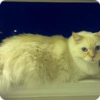 Adopt A Pet :: Regal - purebred - Ennis, TX