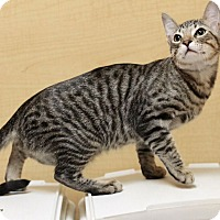 Adopt A Pet :: Tegger - Houston, TX