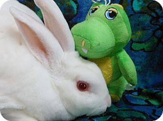Mini Rex Mix for adoption in Williston, Florida - Kris Kringle