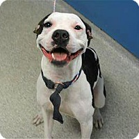 Adopt A Pet :: Bella - Troy, MI