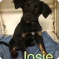Adopt A Pet :: Josie in CT - Manchester, CT