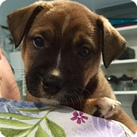 Adopt A Pet :: Bam - Barnegat, NJ