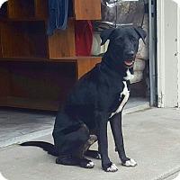 Adopt A Pet :: Afortunado - Austin, TX